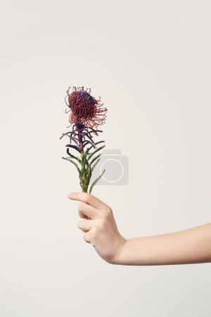 cropped shot of woman holding Leucospermum flower isolated on white