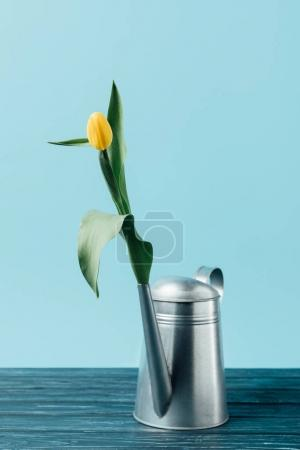 close up view of yellow tulip in watering can on wooden surface on blue