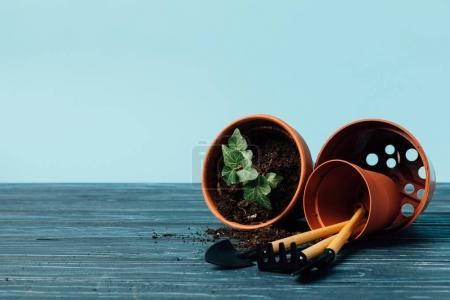 close up view of gardening equipment and flowerpots with ivy on wooden tabletop on blue