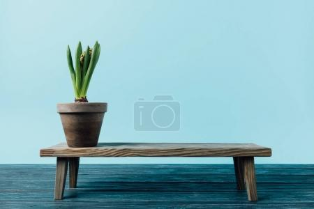 close up view of hyacinth plant in flowerpot on wooden decorative bench isolated on blue