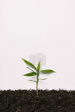 top view of green plant in soil isolated on white