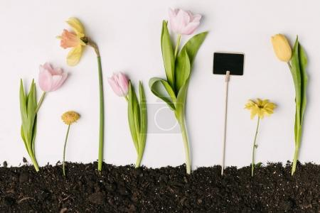 flat lay with tulips, narcissus, chrysanthemum flowers and blank blackboard in ground isolated on white