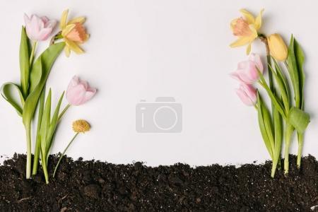 Photo pour Vue de dessus de belles tulipes, chrysanthèmes et narcisses dans le sol isolé sur blanc - image libre de droit