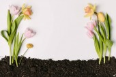 top view of beautiful tulips, chrysanthemum and narcissus flowers in ground isolated on white
