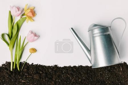 flat lay with tulips, narcissus, chrysanthemum in ground and watering can isolated on white