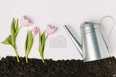 flat lay with watering can and pink tulips in ground isolated on white