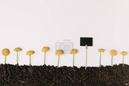 top view of yellow chrysanthemum flowers in ground with blank blackboard isolated on white