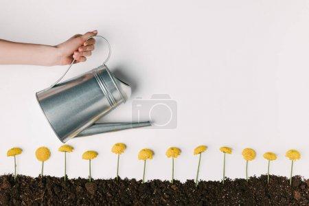 Photo pour Photo recadrée de femme arrosant des fleurs de chrysanthème jaune au sol isolé sur blanc - image libre de droit