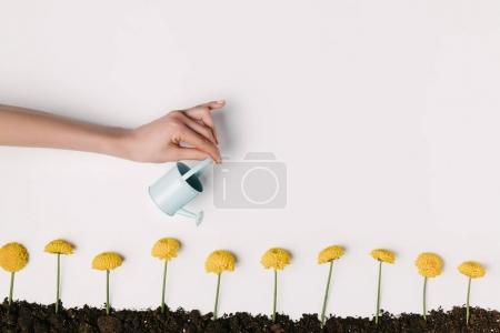 Photo pour Plan recadré de femme arrosant des fleurs de chrysanthème jaune dans le sol isolé sur blanc - image libre de droit
