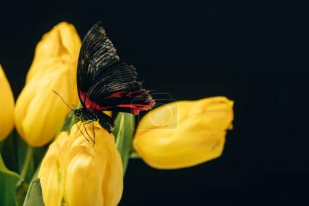 close up view of beautiful butterfly with yellow tulips isolated on black