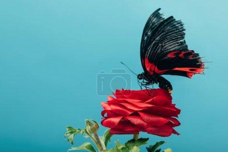 Photo pour Vue rapprochée du beau papillon sur rose rouge isolé sur bleu - image libre de droit