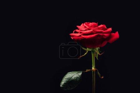 Photo pour Vue rapprochée de belle rose rouge isolée sur noir - image libre de droit