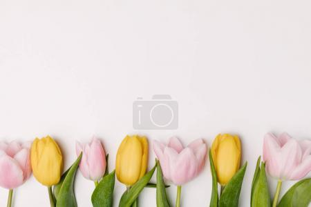 flat lay with pink and yellow tulips isolated on white