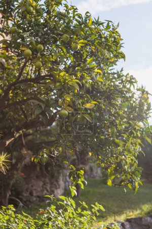 Photo for Beautiful green limes with leaves growing on branches of lime tree in Portovenere, Italy - Royalty Free Image