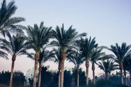 Photo for Beautiful green palm trees at sunset at resort in Egypt - Royalty Free Image