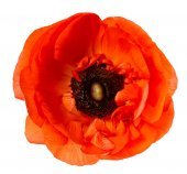 Flower head Poppy Red anemone isolated white background