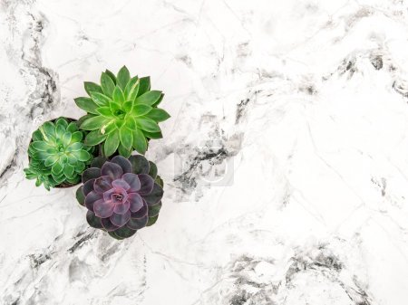 Photo for Succulent on marble background. Minimal floral flat lay - Royalty Free Image