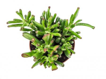 Foto de Suculenta aislado sobre fondo blanco. Plantas exóticas. Vista superior - Imagen libre de derechos