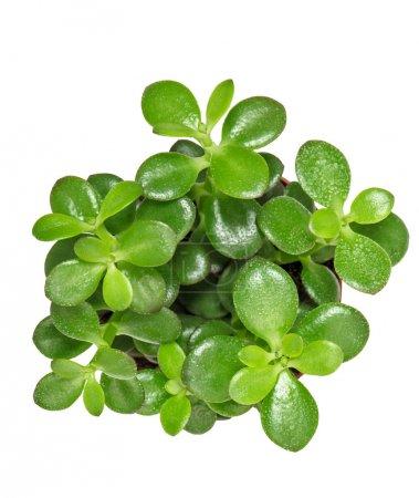 Photo pour Plante succulente aux feuilles vertes isolées sur fond blanc. Vue du dessus - image libre de droit