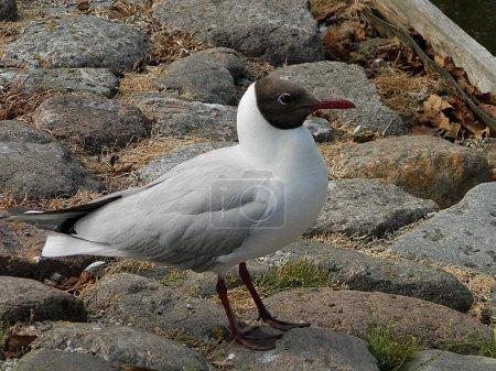 Photo pour La Mouette blanche est située sur les rives de la mer Baltique. Le rivage est fait de pierres . - image libre de droit
