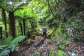 A hiker walks along a trail through dense temperate rainforest on New Zealand's south island
