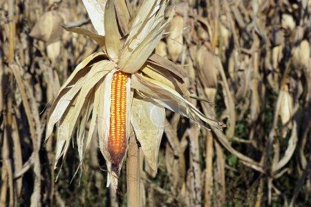 Photo pour Plantation de maïs dans la campagne de l'Etat de Sao Paulo au Brésil - image libre de droit