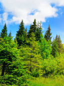Coniferous forest on a steep mountain slope.