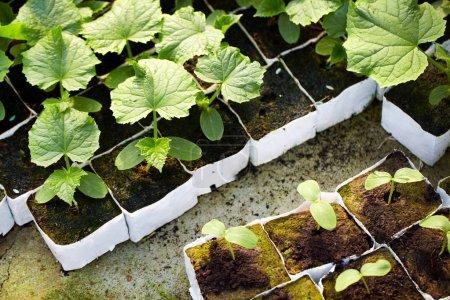 Tomato seedlings planting in row