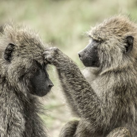 Olive baboon searching food on the head of the other, in Serenge