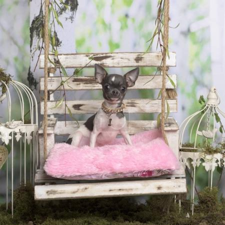Chihuahua sitting on a rose pillow, in pastoral decoration