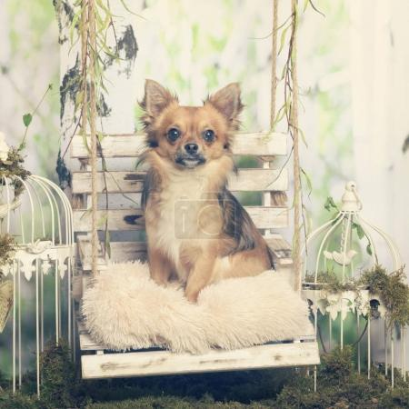 Chihuahua sitting on a pillow, in pastoral decoration