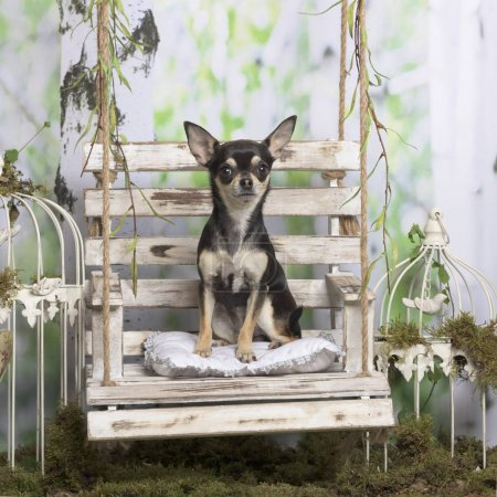Chihuahua sitting, in pastoral decoration
