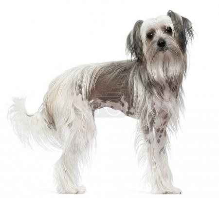 Chinese Crested Dog, 11 months old, standing in front of white b