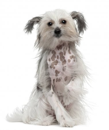 Chinese Crested Dog with windblown hair, 11 months old, sitting