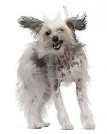 Chinese Crested Dog with windblown hair, 11 months old, standing