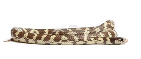 Banana eastern kingsnake or common kingsnake, Lampropeltis getul