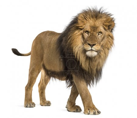 Photo for Side view of a Lion walking, looking at the camera, Panthera Leo, 10 years old, isolated on white - Royalty Free Image