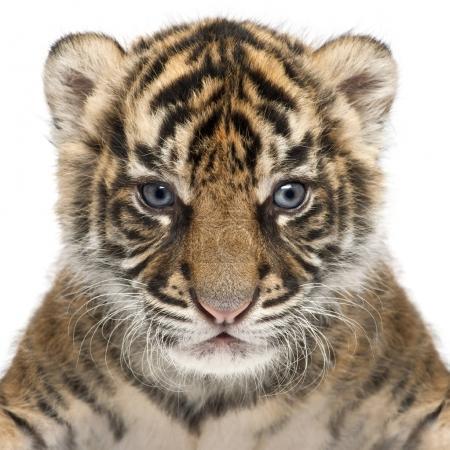 Sumatra-Tigerjunges, Panthera tigris Sumatrae, 3 Wochen alt, in Frankreich