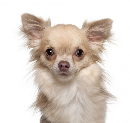 Chihuahua, 11 months old, in front of white background