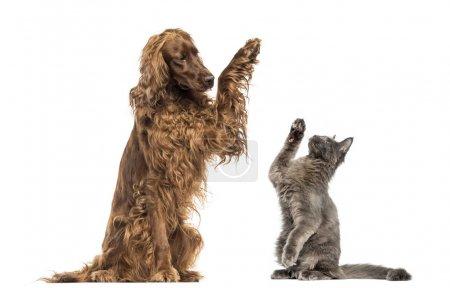 Photo pour Setter irlandais et chaton Maine Coon haute-cinq - image libre de droit