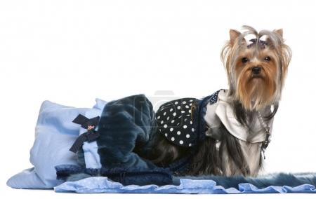 Yorkshire Terrier dressed in blue with blanket, 13 months old, in front of white background