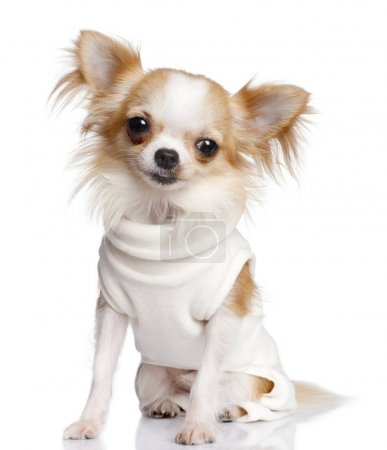 Chihuahua dressed-up in front of a white backgroun...