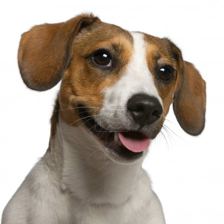 Close-up of Jack Russell Terrier, 11 months old, in front of white background