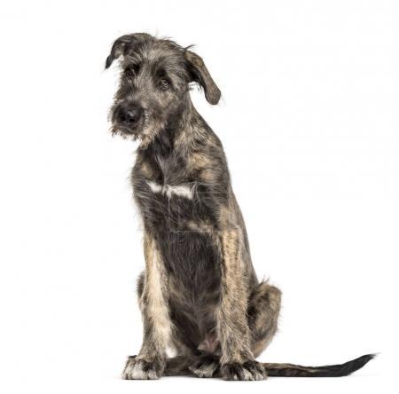 Irish Wolfhound dog, sitting, , isolated on white