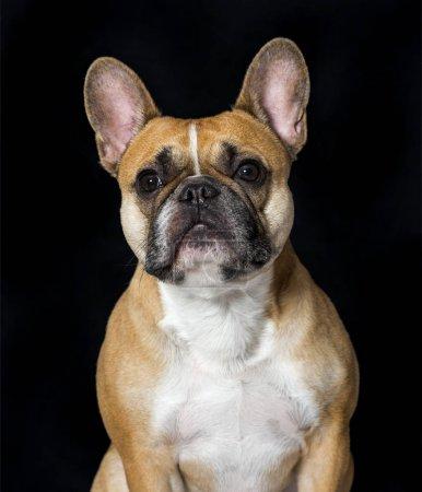 French Bulldog in portrait against black background