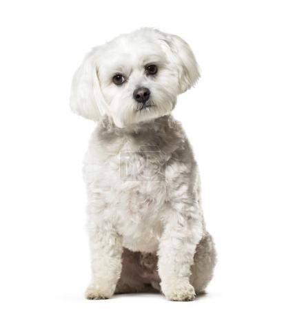 Maltese dog sitting against white background