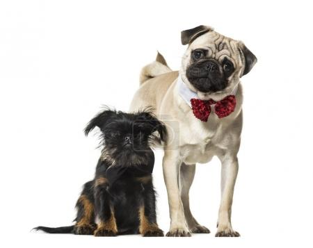 Pug and Griffon together against white background