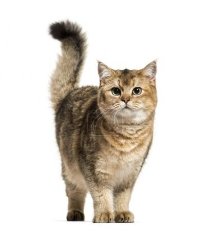 Photo pour Chat British shorthair sur fond blanc - image libre de droit