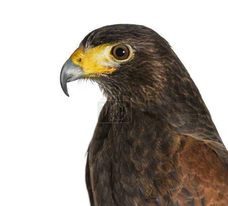 Profile of Harris's hawk, Parabuteo unicinctus, against white ba