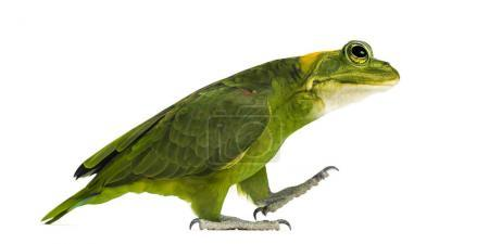chimera with Yellow-naped parrot with head of frog, walking agai